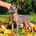 Ксолоитцкуинтли (Мексиканская Голая собака) мини щенки