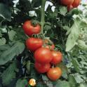 Продажа  белорусских помидор