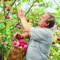 Требуются работники для сбора яблок в России.