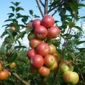 Яблоки свежие осенних и зимних сортов