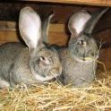 Кролики бельгийской и калифорнийской породы