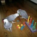 Африканский серый попугай жако -ручные птенцы