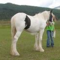 здоровой лошади Ваннер цыганский для принятия