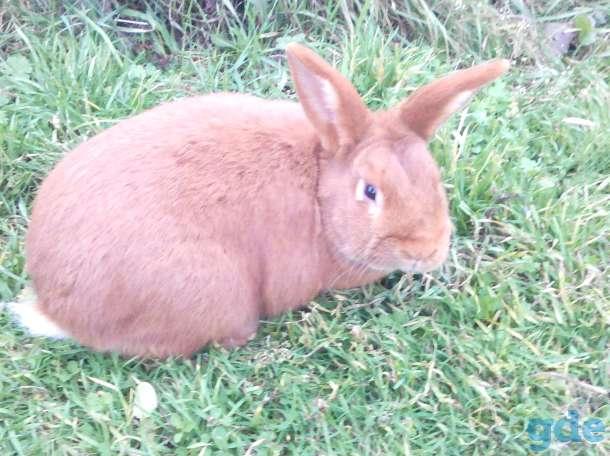 кролики нзб и нзк., фотография 2