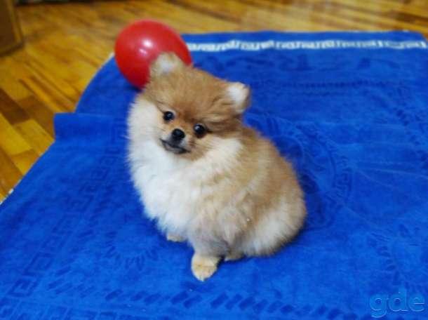 продам щенков померанского шпица, фотография 3