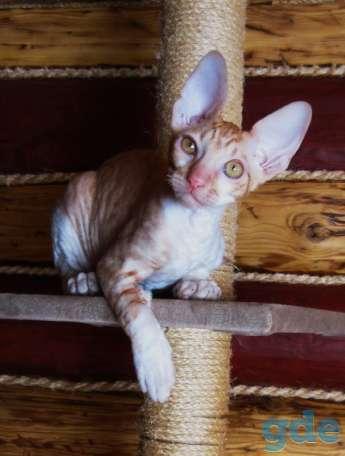 Корниш рекс-котенок, фотография 3