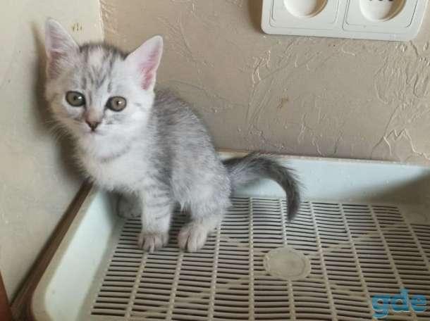 Шотландские котята. Пушистое счастье в ваш дом., фотография 9