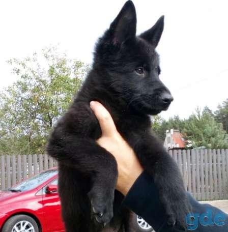 Черная немецкая овчарка, фотография 1