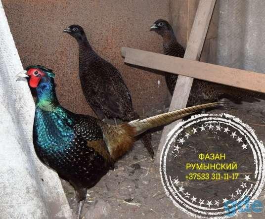 Разная птица . Цыплята , фазанята , утята., фотография 9