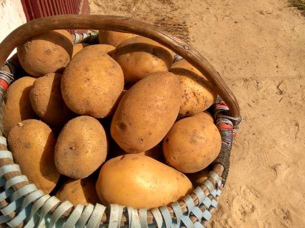 Картофель крупный, фотография 1