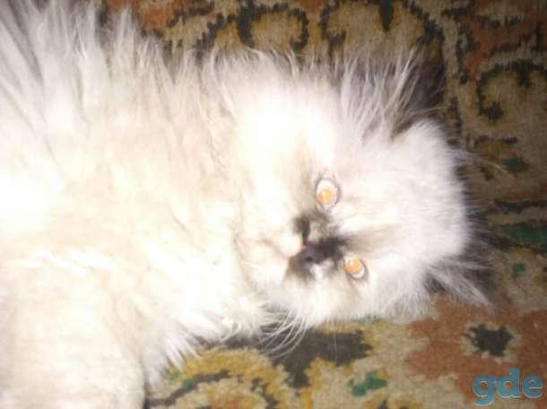 персидские котята, фотография 9