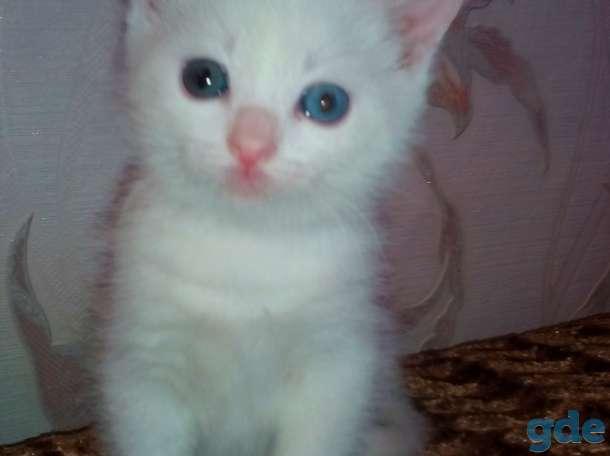 Разноглазый белоснежный котенок ,от роду 1 месяц 2 недели, фотография 1