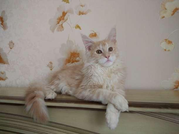 Мейн кун котенок, фотография 2