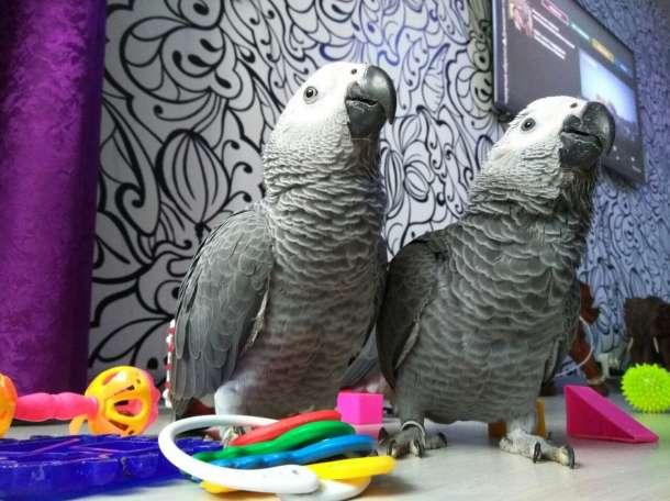 Попугай Жако. Купить говорящего попугая  жак , ара , какду ,  амазон., фотография 1