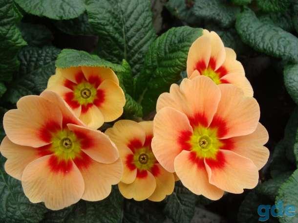 Цветы Примула к 14 февраля, фотография 6