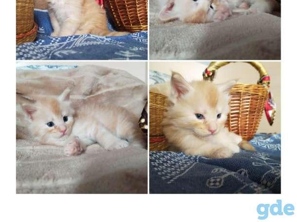 Мейн-кун, котята, фотография 4