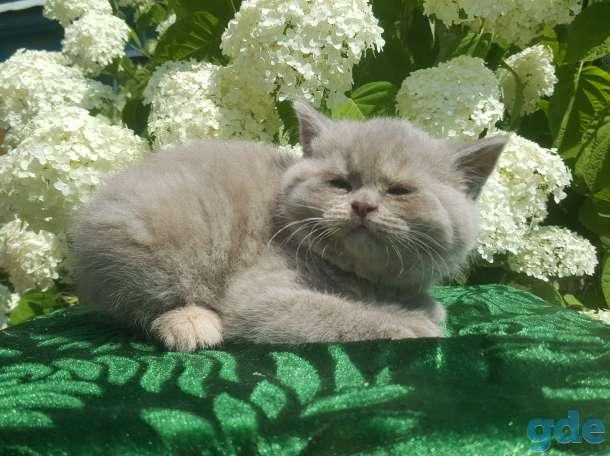 Питомник бенгальских и шотландских кошек., фотография 1