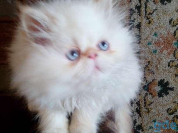 персидские котята, фотография 2