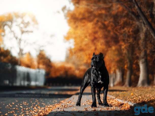 Перспективные щенки кане корсо. Питомник La Mia Fortuna., фотография 2