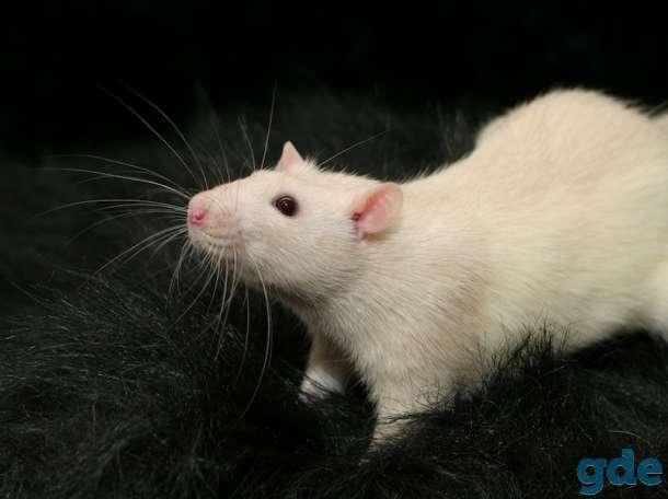 Куплю крысу, фотография 1