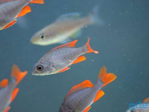 Рыбки Цихлиды мальки, подростки  и взрослые, фотография 1