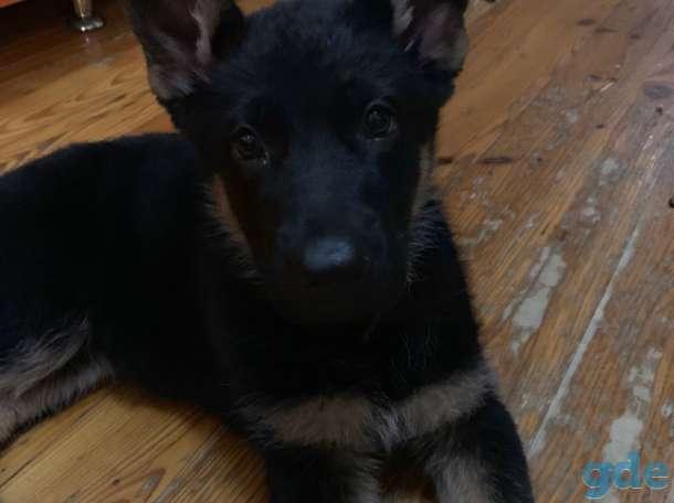 Продам щенка (девочка) немецкой овчарки, фотография 2