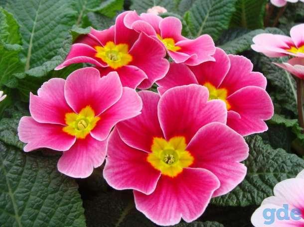 Цветы Примула к 14 февраля, фотография 1