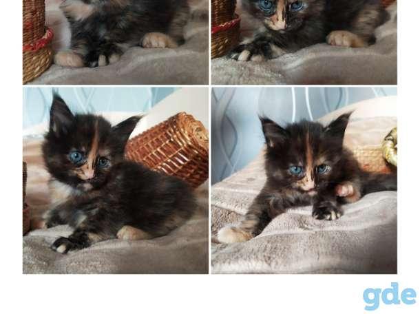 Мейн-кун, котята, фотография 3