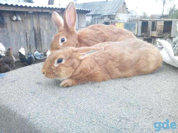 кролики нзб и нзк., фотография 5