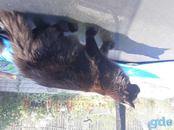 Мейн кун котёнок, фотография 2