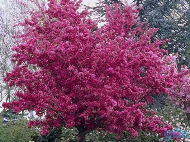 Яблони красномякотные, фотография 1