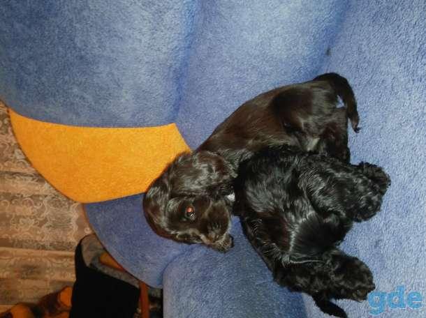 Продам щенков американский кокер спаниель, фотография 4