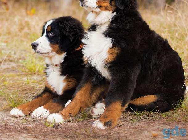 Очаровательные щенки Бернского зенненхуна, фотография 1