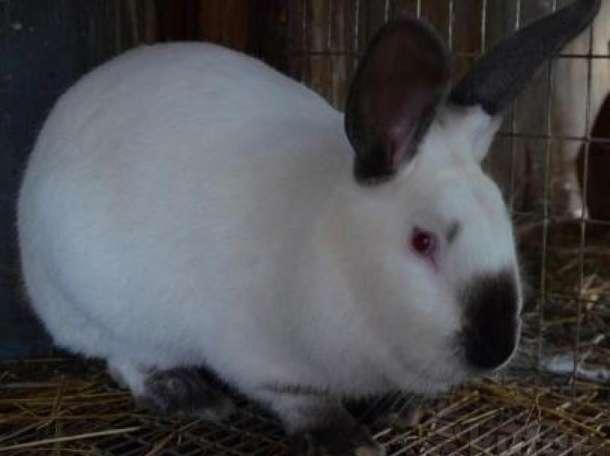 Кролики калифорнийские , фотография 1
