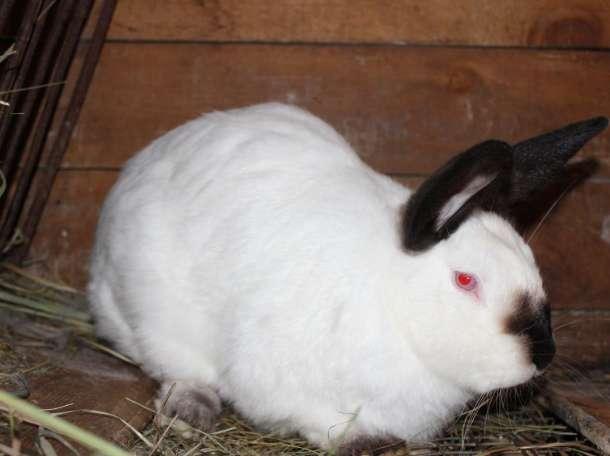Кролики калифорнийские , фотография 2