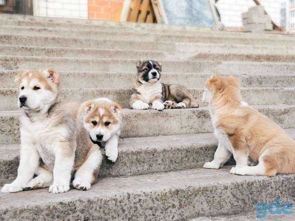 Шикарный щенок сао, фотография 2