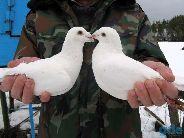 Почтовые белые голуби, фотография 3