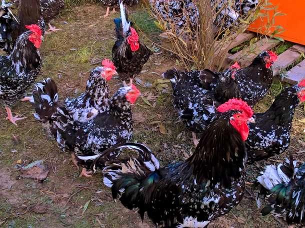 продам цыплят редких пород Австролорп черно-пестрый,фавероль ,ленинградская ситцевая,павловская,пушкинская,русская хохла, фотография 1