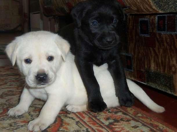 Чистокровные щенки Лабрадора, фотография 1