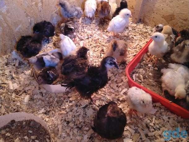 Цыплята, фотография 2