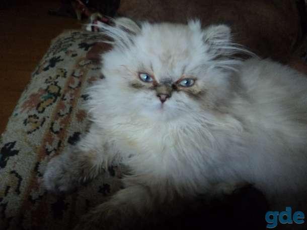 персидские котята, фотография 1
