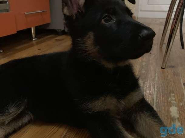 Продам щенка (девочка) немецкой овчарки, фотография 4