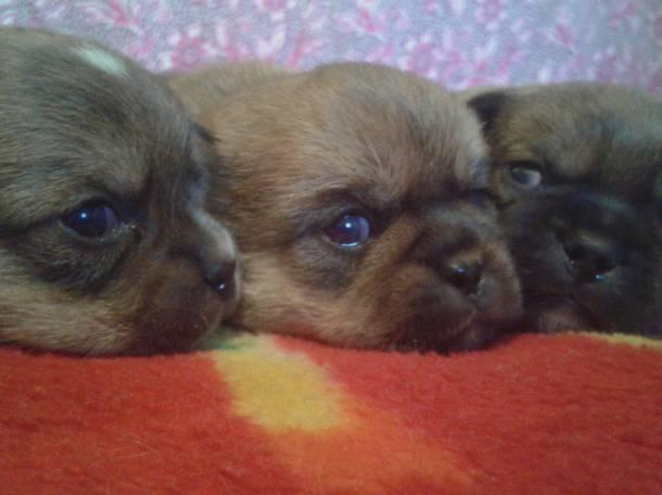 Продам щенка пикинеса, фотография 1