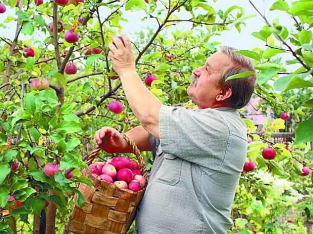 Требуются работники для сбора яблок в России, фотография 1