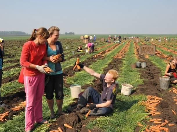 Требуются работники для сбора капусты,моркови, картошки. (РФ). , фотография 1