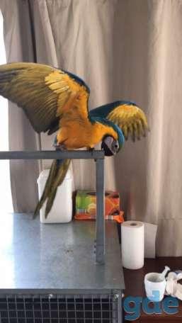 Бумаги ДНК 2-летние самцы голубых и золотых попугаев ара, фотография 1