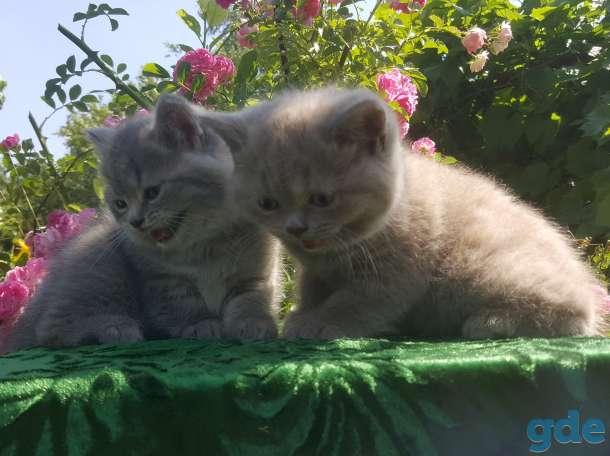 Питомник бенгальских и шотландских кошек., фотография 2