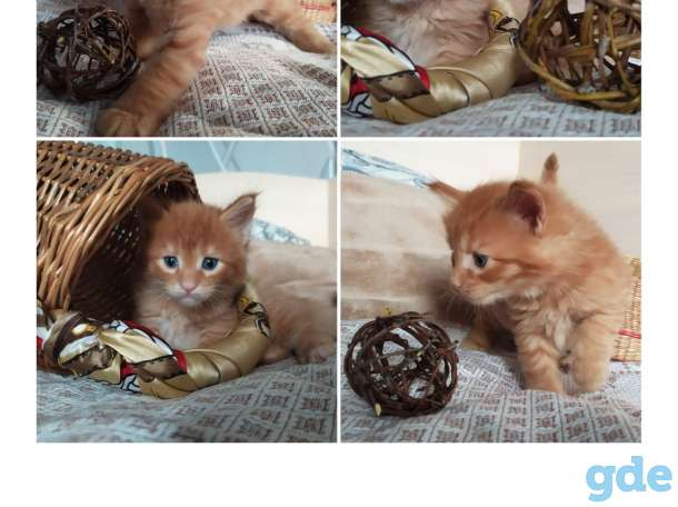 Мейн-кун, котята, фотография 1