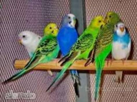 Волнистые попугайчики, фотография 1