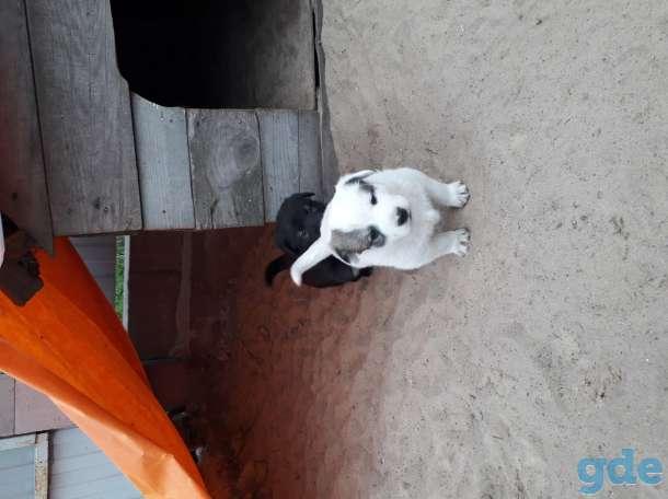 Продам щенков западносибирской лайки, фотография 4